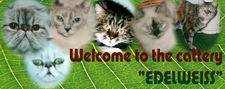 Edelweiss-cattery