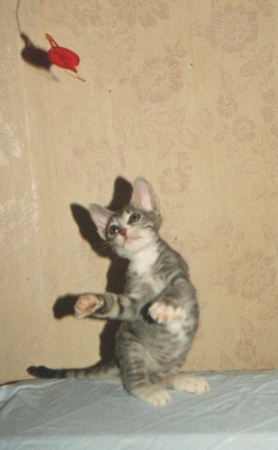 """Даша-денс "" - Айн-Далия, кошка породы донской сфинкс, браш."