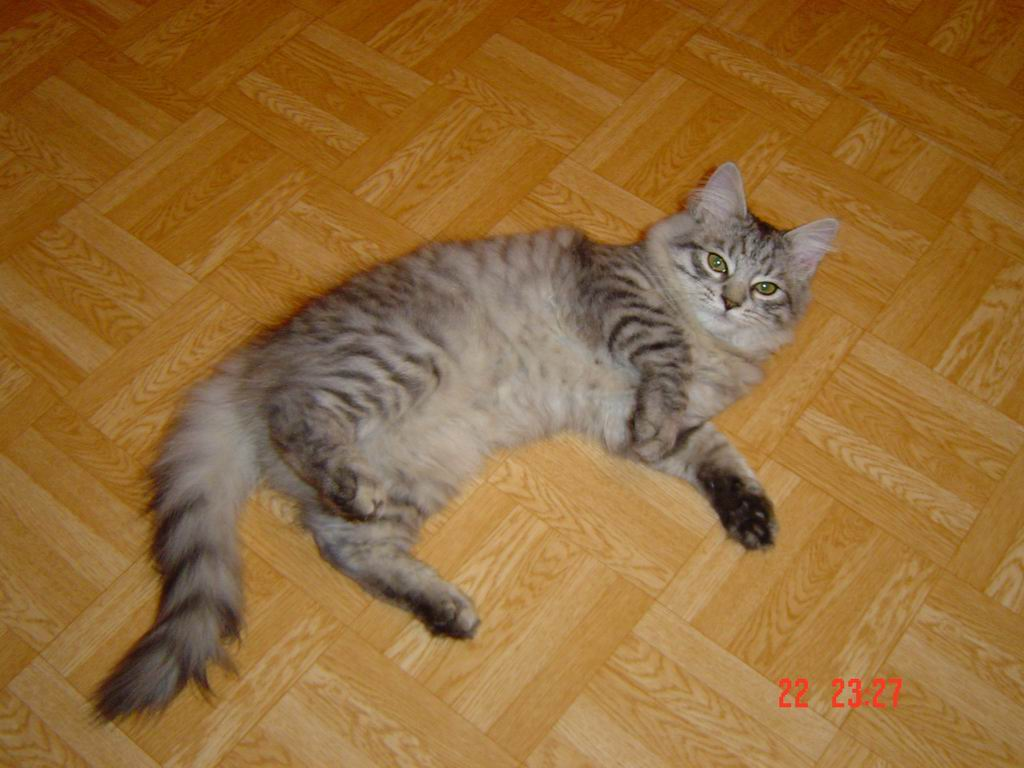 Ch edelweiss tumka siberian male cat silver spotted tabby